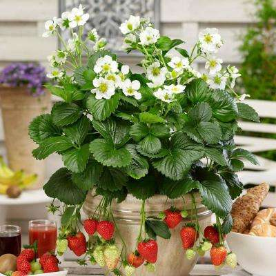 2.50 in. Pot Montana Everbearing Strawberry Fragaria Live Potted Fruiting Plant (1-Pack)