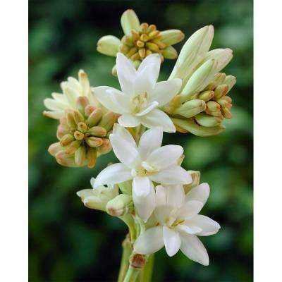Double Tuberose The Pearl Bulbs (3-Pack)