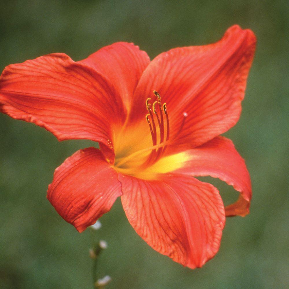 2.5 Qt. South Seas Orange Daylily Plant