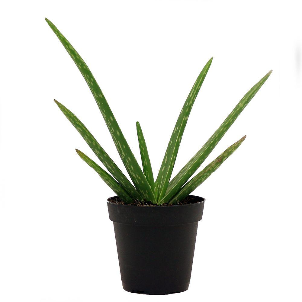 Delray plants aloe vera plant in 4 in pot 90408 the home depot - Aloe vera en pot ...