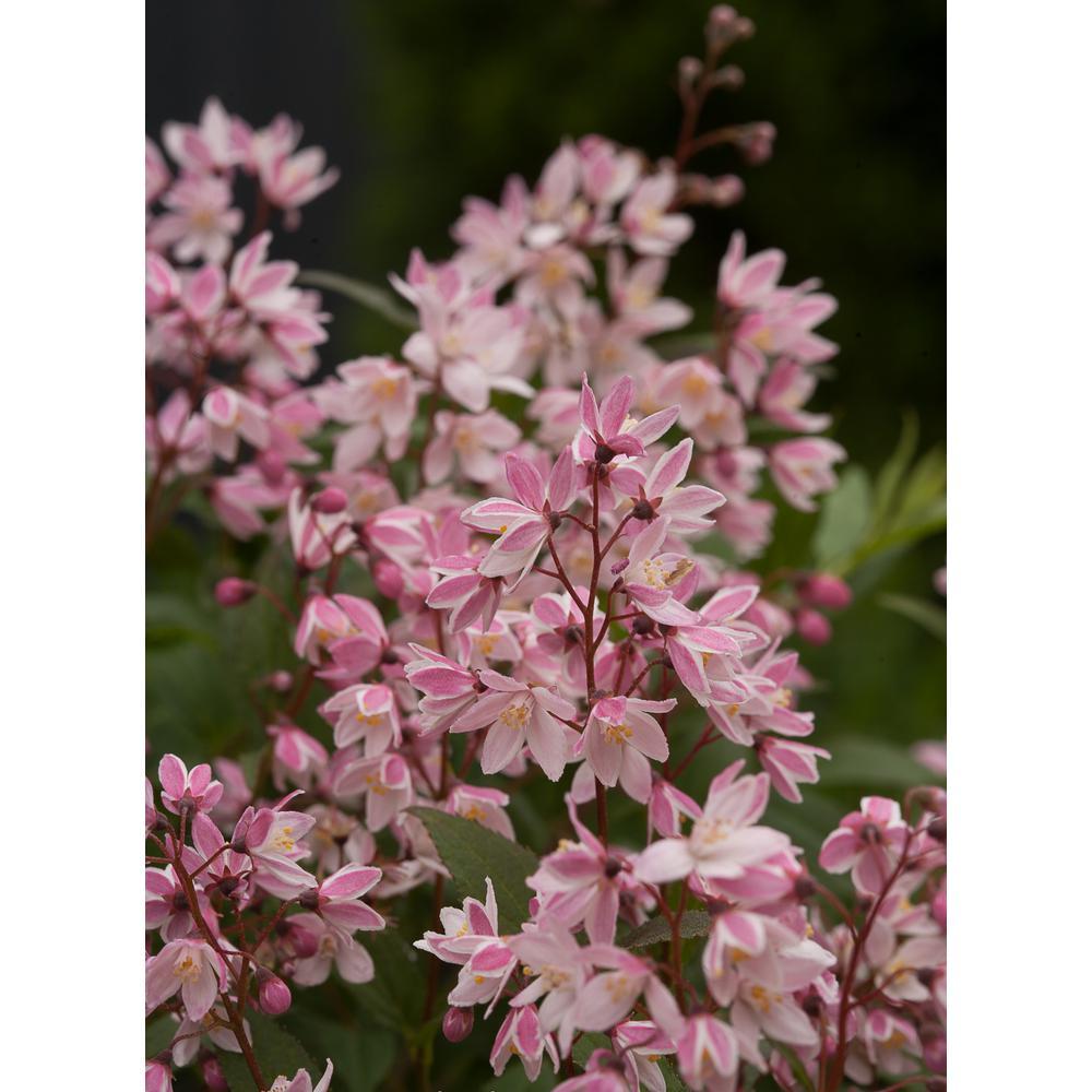 4.5 in.Qt. Yuki Cherry Blossom (Deutzia) Live Shrub, Light Pink Flowers