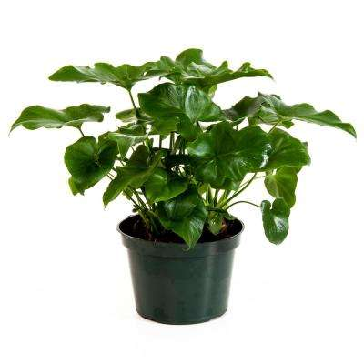 Philodendron Selloum in 6 in. Grower Pot