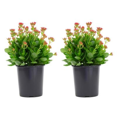 2.5 Qt. Kalanchoe Plant Red Flowers in 6.33 In. Grower's Pot (2-Plants)