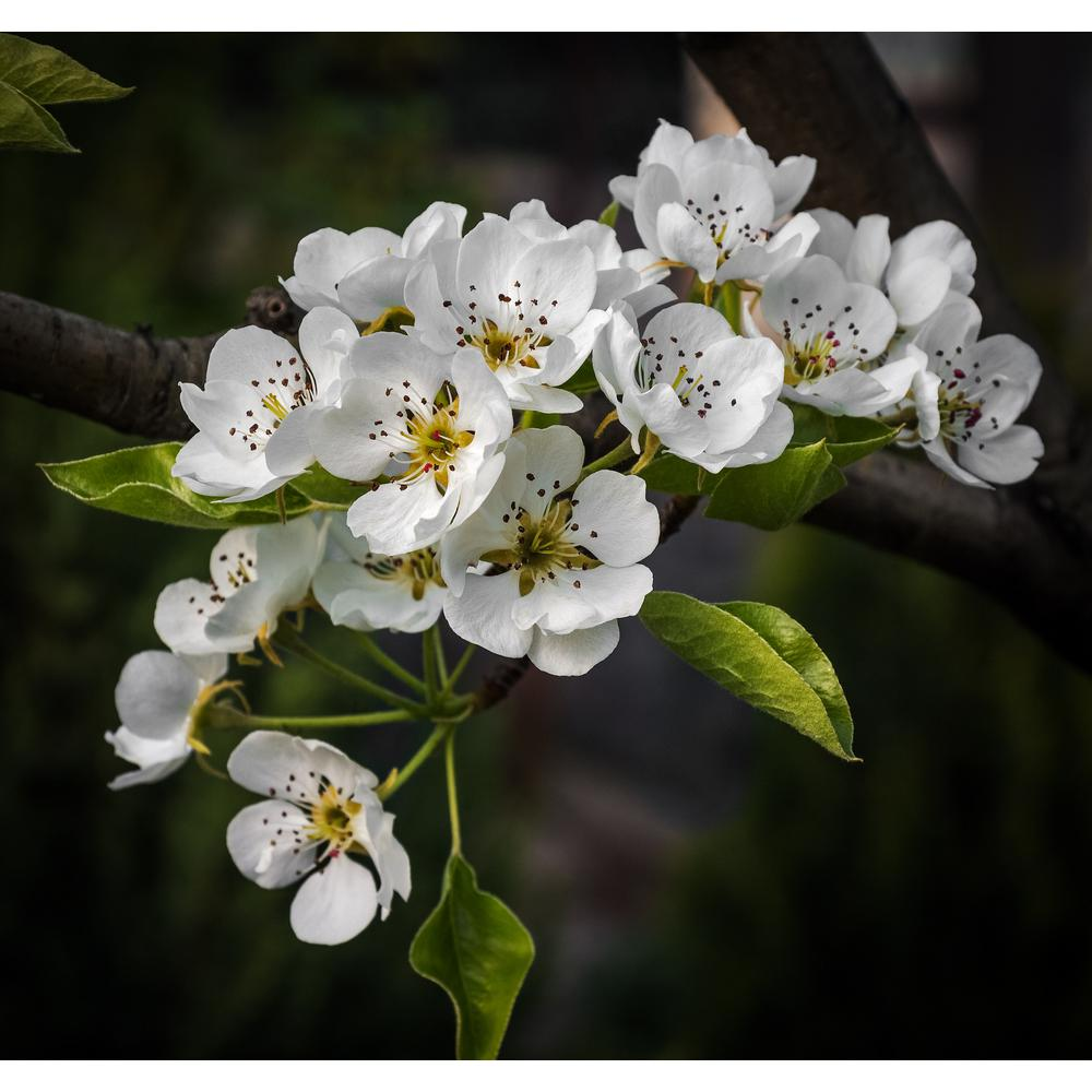 Online Orchards Cleveland Select Flowering Pear Tree Bare