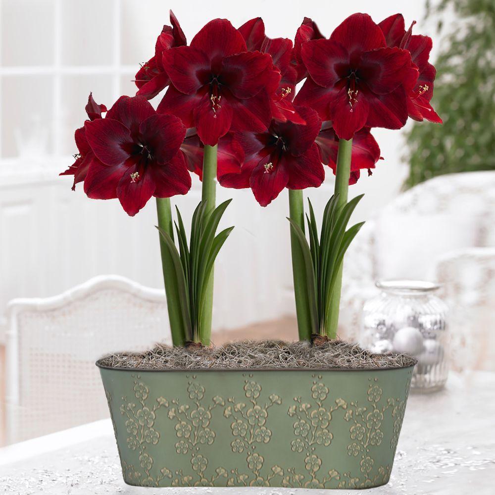 Amaryllis Benefica Metal Floral Imprint Premium Gift Kit