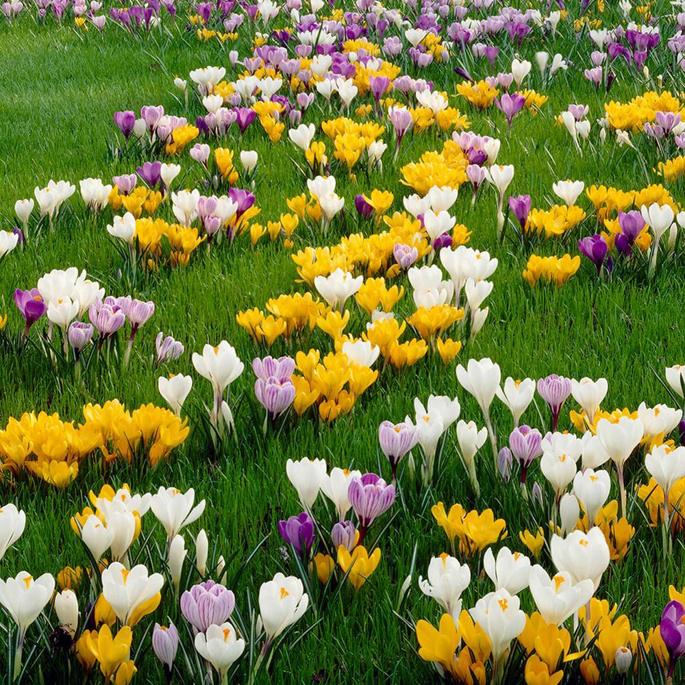 Van zyverden crocus bulbs large flowering blend set of 50 21429 van zyverden crocus bulbs large flowering blend set of 50 21429 the home depot mightylinksfo