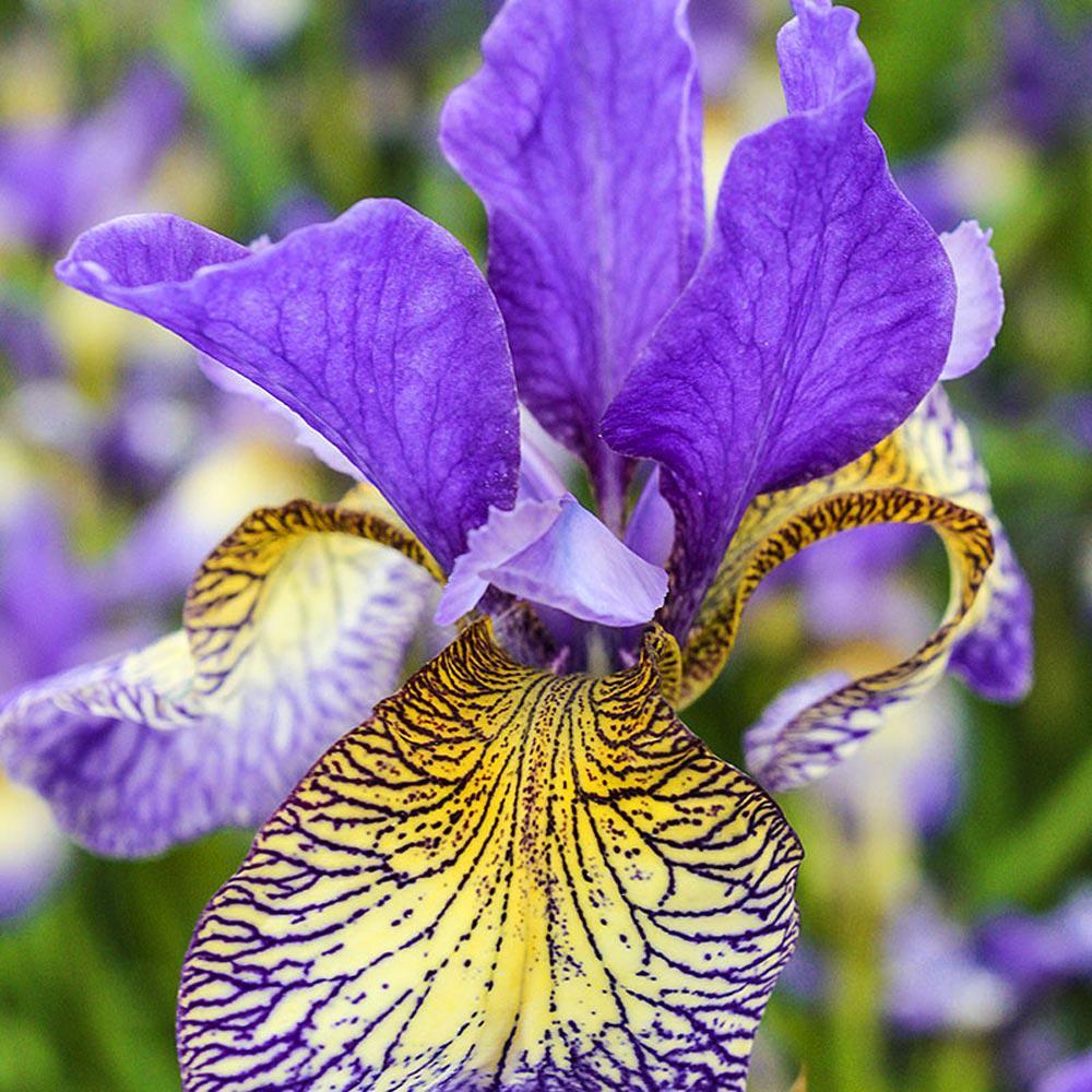 Spring hill nurseries pennywhistle siberian iris live bareroot spring hill nurseries pennywhistle siberian iris live bareroot plant purple and yellow flowering perennial izmirmasajfo