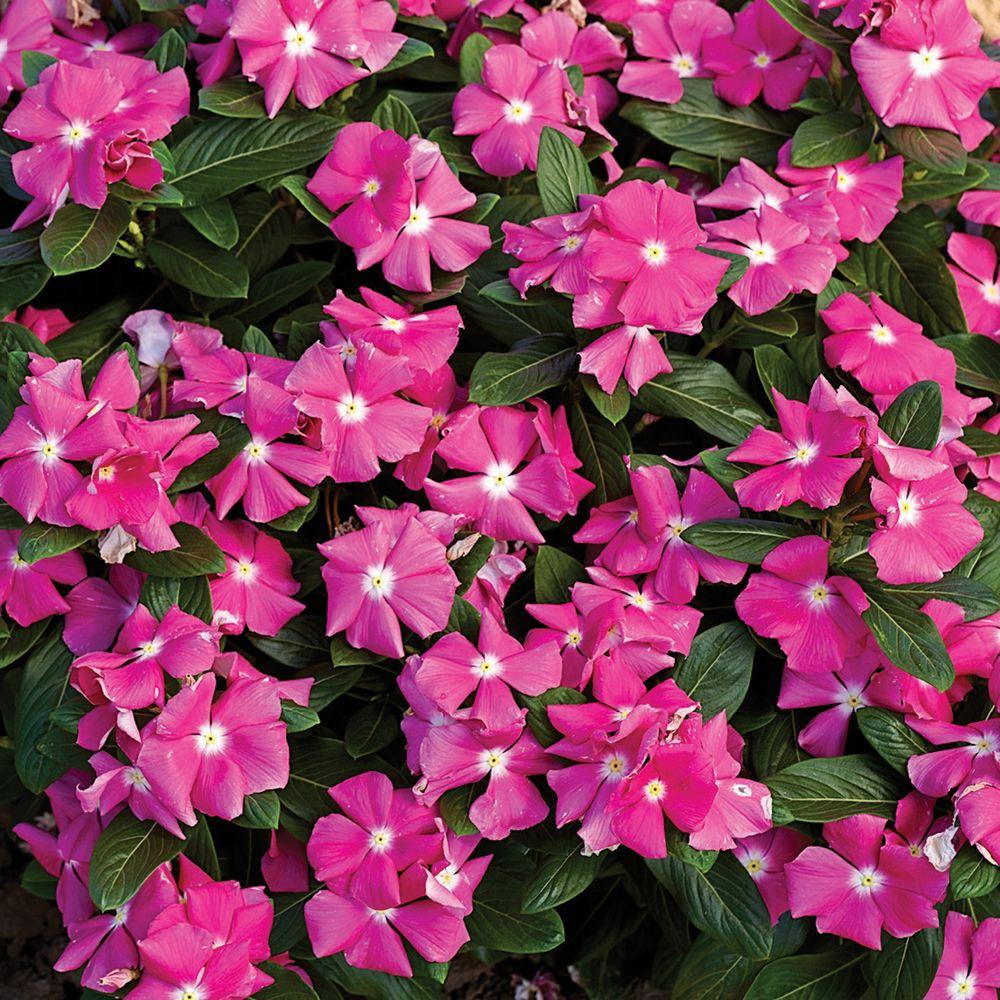 Cora Pink Vinca Catharanthus Live Plant Bright Flowers With A White Center 4 25 In Grande Pack