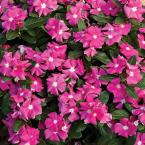 Cora Pink Vinca (Catharanthus) Live Plant, Bright Pink Flowers with a White Center, 4.25 in. Grande, 4-pack