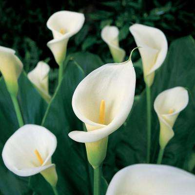 Calla Bulbs Aethiopica Set Of 5