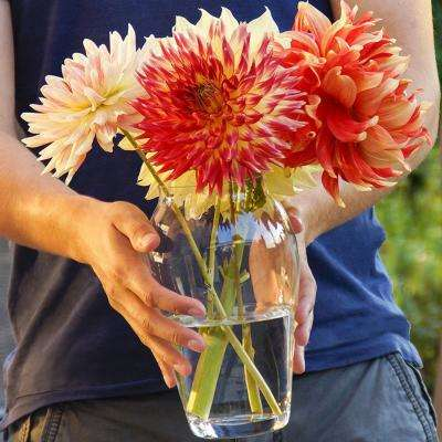 Dinnerplate Dahlia Blend Bulbs (5-Pack)