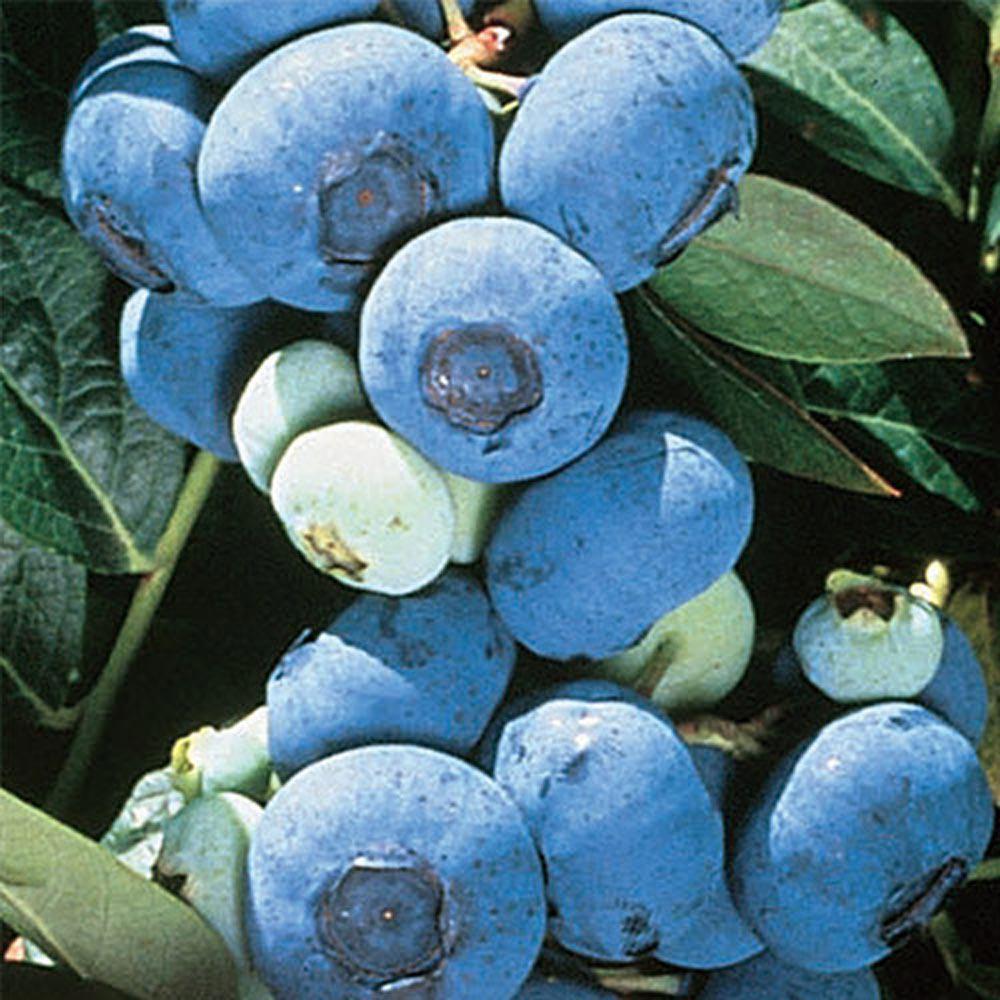 Elizabeth Giant Blueberry Bareroot Plant