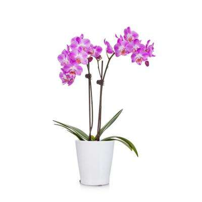 Pink 3 in. Holiday Orchid Plant in Ceramic Pot