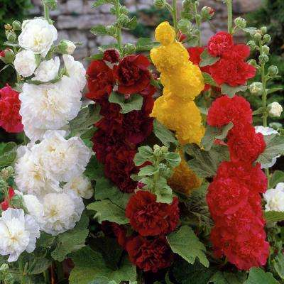 Hollyhocks Mixed Roots (Pack of 5)