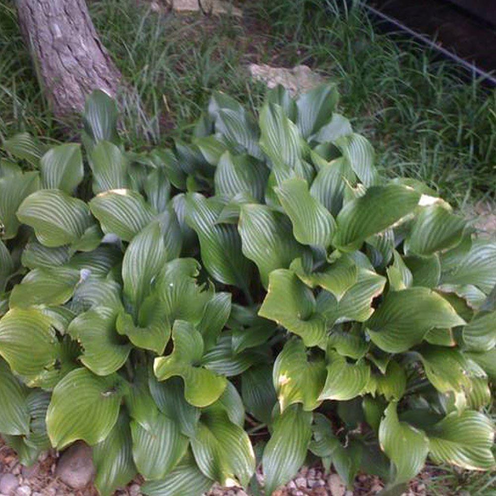 1 Gal. Royal Standard Hosta Plant