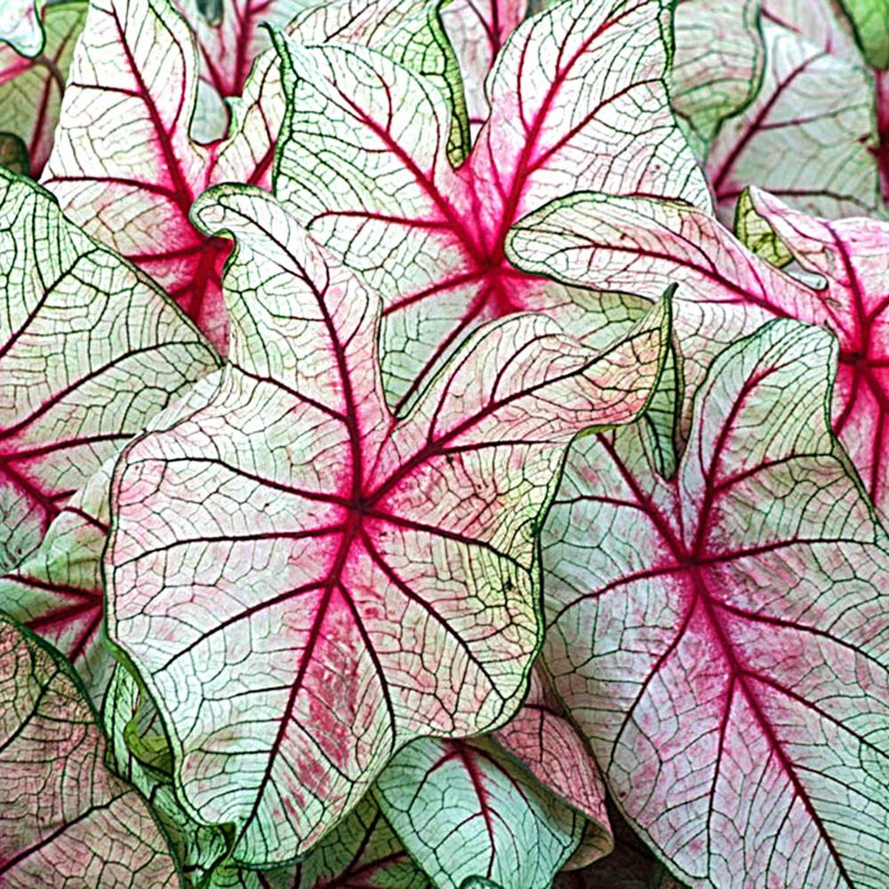 A Bulb Of Queen Of The Leafy Plants Green Pink Leaves As Picture Caladium Home Garden Other Seeds Bulbs