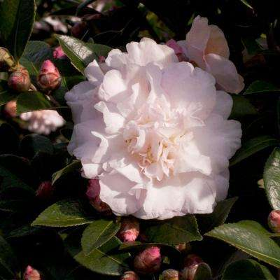 2 Gal. October Magic Dawn Camellia(sasanqua) - Live Evergreen Shrub with Pink Rose-form Blooms