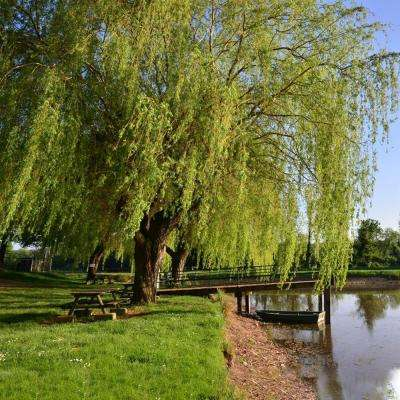 5 Gal. Weeping Willow Shade Tree