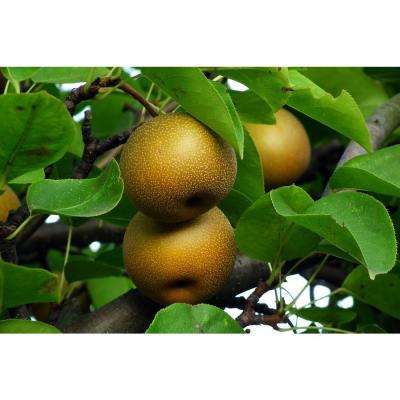 Dwarf Hosui Asian Pear Tree Bare Root