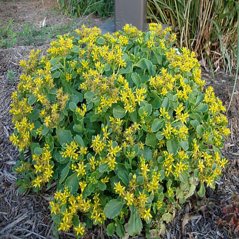 Yellow perennials garden plants flowers the home depot 1 gal yellow stonecrop sedum plant mightylinksfo