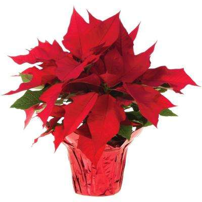 6 in. Live Poinsettia (In-Store Only)