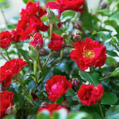 2.5 Qt. It's a Breeze Groundcover Rose with Dark Red Double Blooms