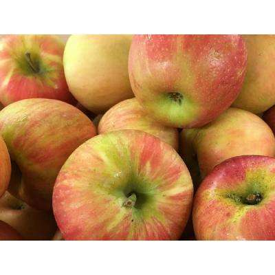 Dwarf Honeycrisp Apple Tree Bare Root