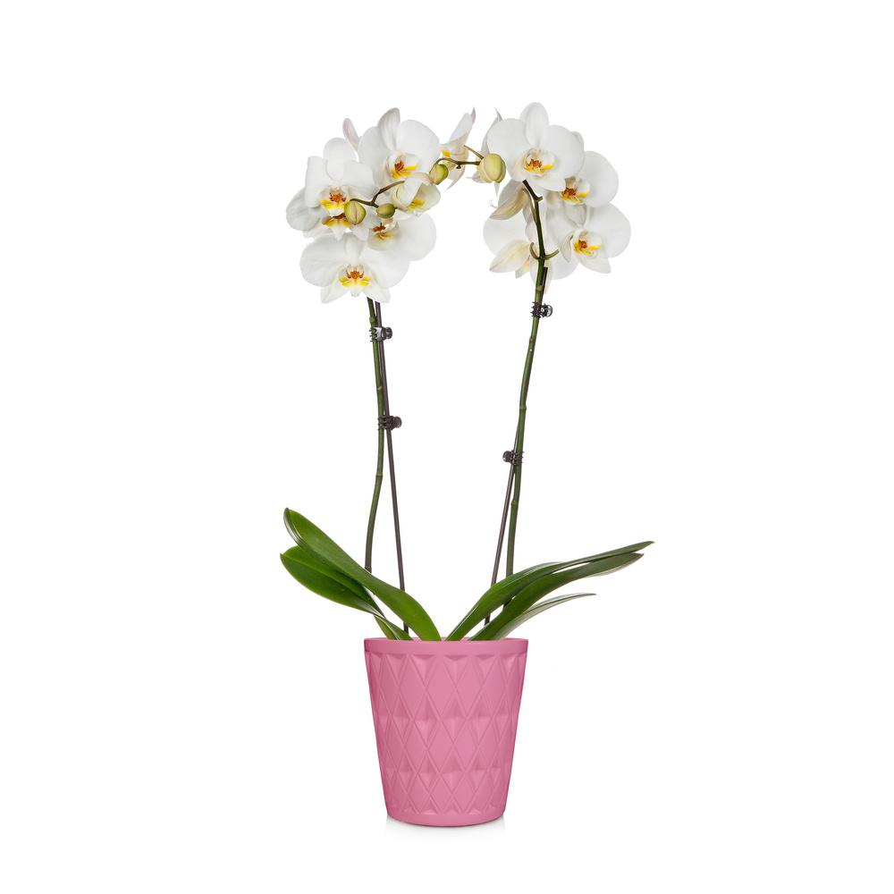 Holiday 5 in. Orchid in Ceramic Pot