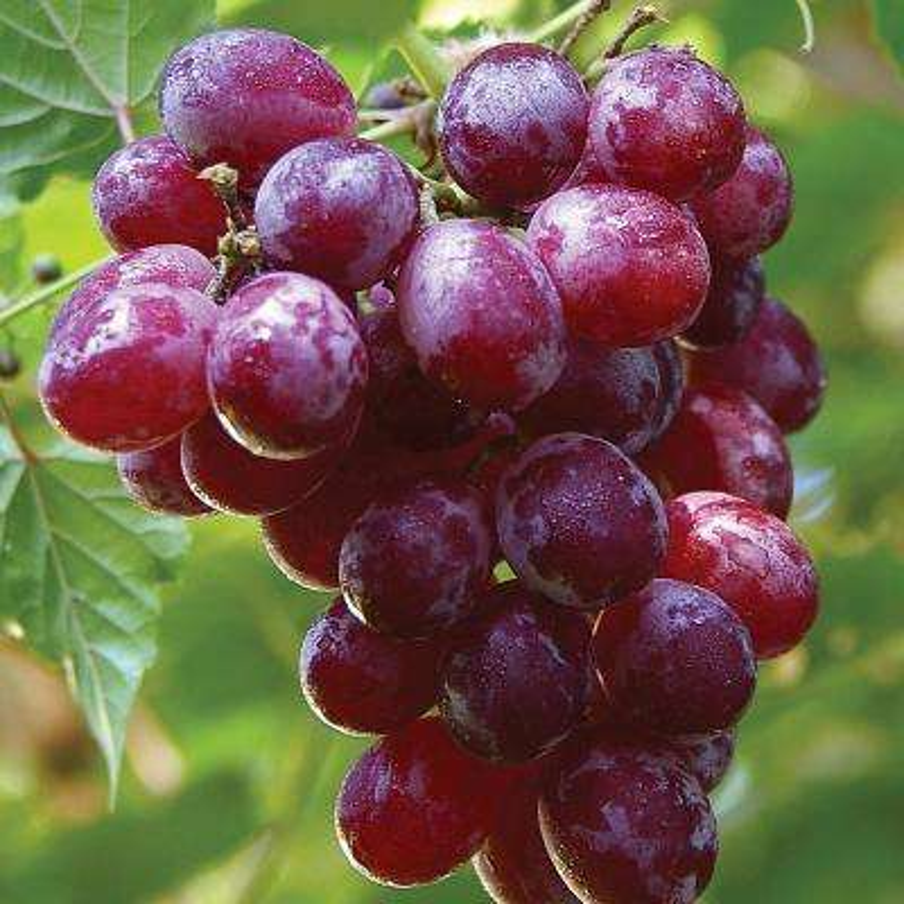 Grapes Catawba Plant