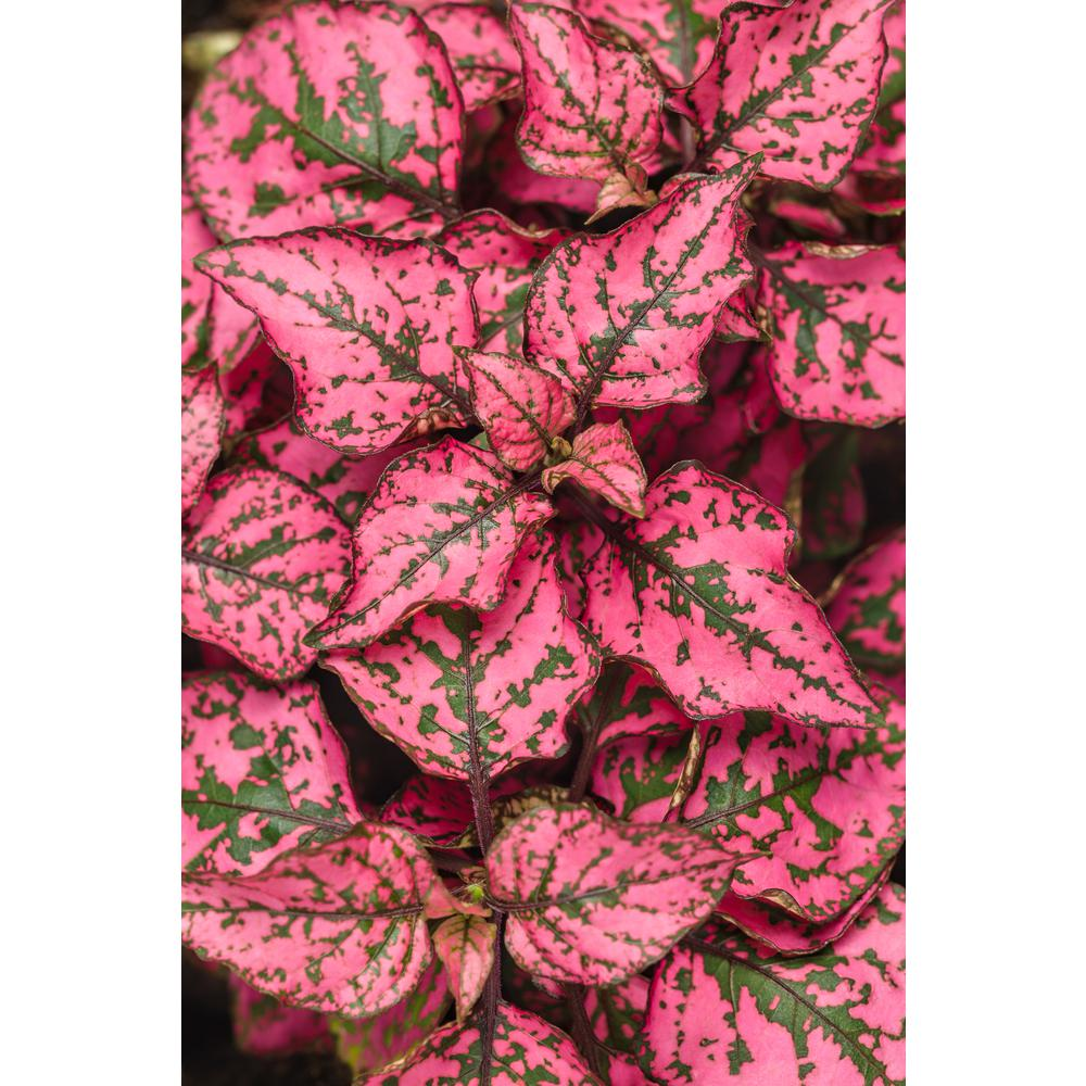 Hippo Rose Polka Dot Plant Hypoestes Live Green And Pink Speckled Foliage 4 25 In Grande Pack