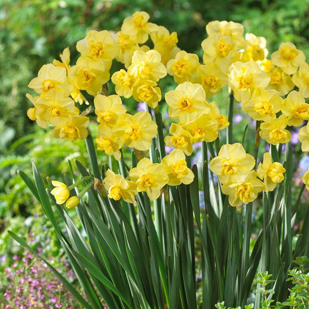 Daffodil Yellow Cheerfulness Flower Bulb (8-Pack)