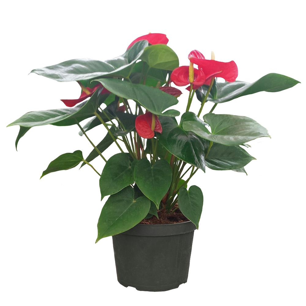 anthurium red in 8 in azalea pot - Red Flowering House Plants