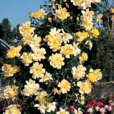 Golden Showers Climbing Rose, Live Bareroot Plant, Yellow Color Flowers (1-Pack)