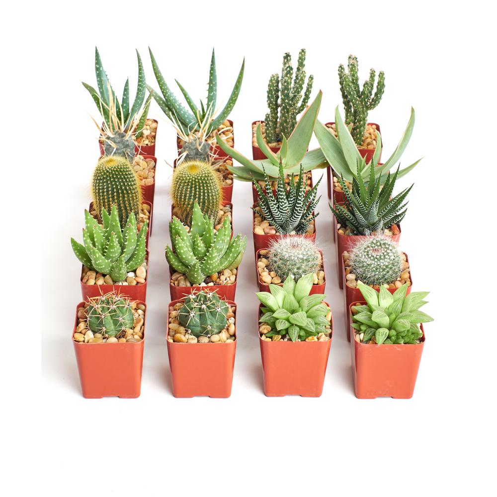Home Botanicals Hardy Cacti And Succulent Plants 20 Pack 20 Har