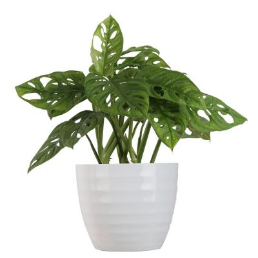 Trending Tropicals Little Swiss Monstera Plant in 6 in. Ceramic Pot