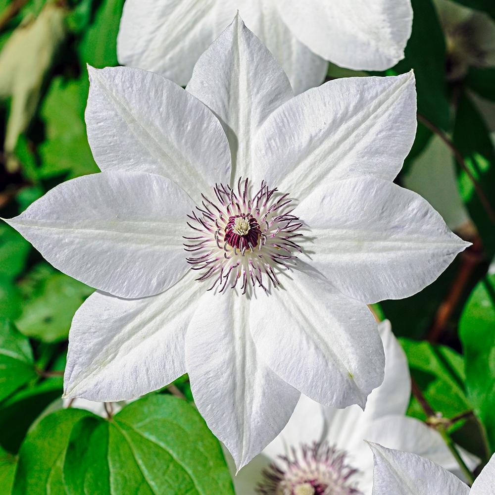 Spring hill nurseries miss bateman clematis live bareroot plant spring hill nurseries miss bateman clematis live bareroot plant white flowering perennial vine mightylinksfo