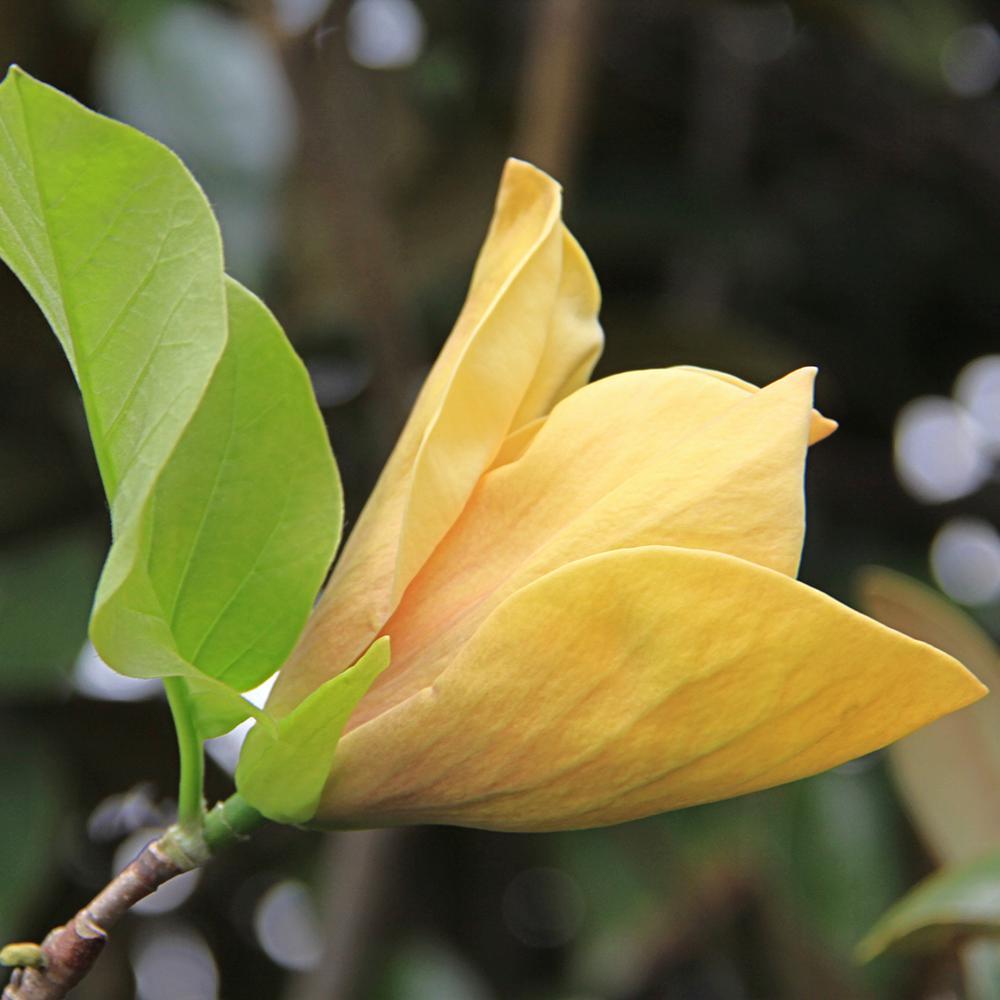 Spring Hill Nurseries 265 Qt Pot Judy Zuk Magnolia Live Deciduous