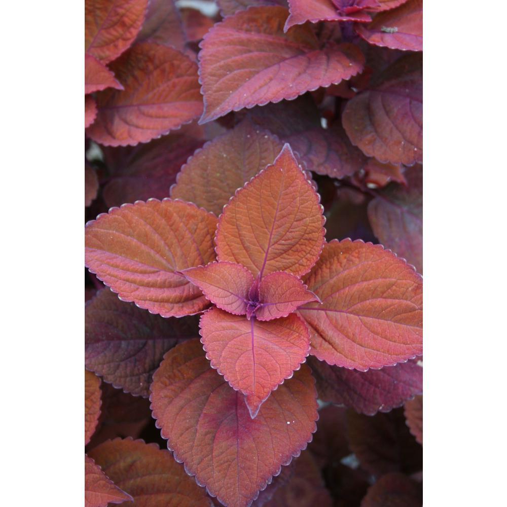 ColorBlaze Keystone Kopper Coleus (Solenostemon) Live Plant, Bronze Foliage, 4.25 in. Grande, 4-pack