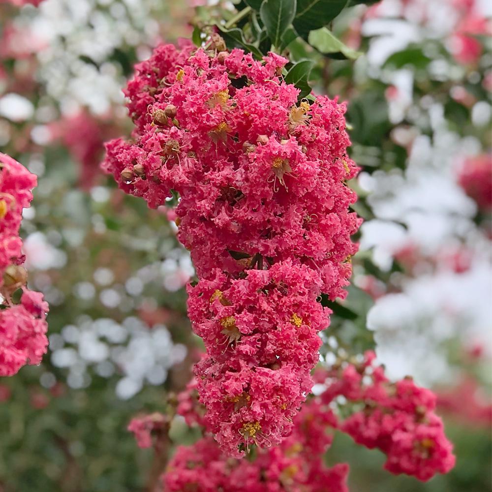 3 Gal. Tuscarora Dark Pink Crape Myrtle Tree