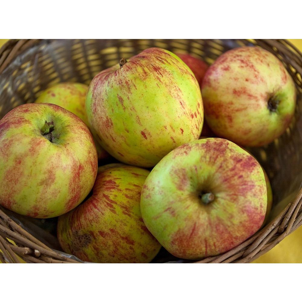 Gravenstein Apple Tree Bare Root