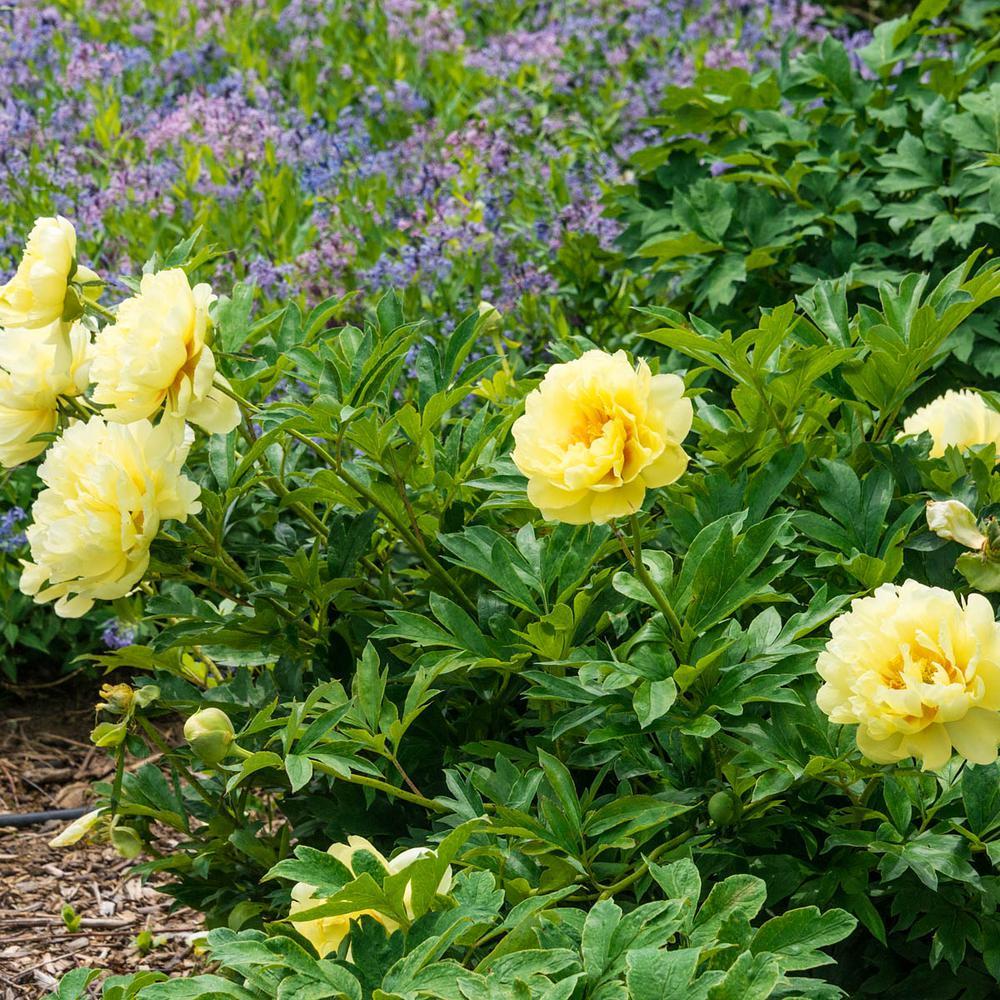Bartzella Itoh Peony (Paeonia) Live Bareroot Perennial Plant Yellow Flowers (1-Pack)