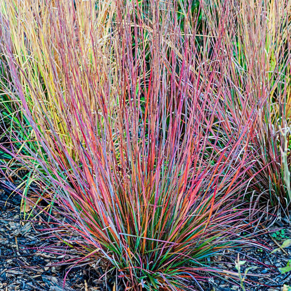 Standing Ovation Little Bluestem (Schizachyrium) Live Perennial Grass with 3 in. Pot