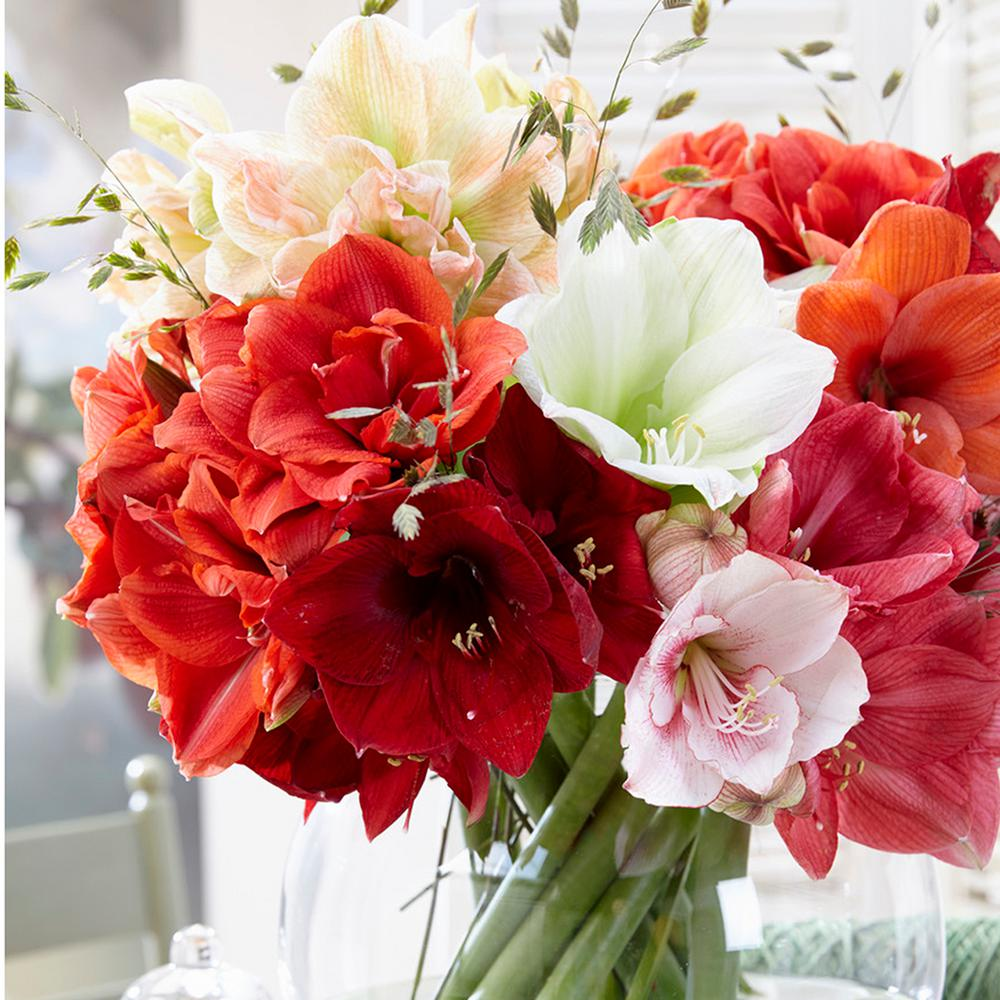 Amaryllis assorted colors flower bulbs garden plants flowers amaryllis bulbs economy mixed set of 3 izmirmasajfo Gallery