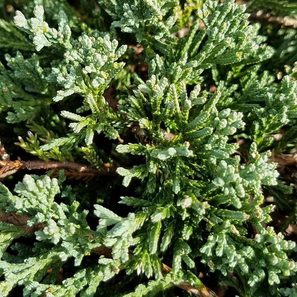 2.5 Qt. Blue Rug Juniper - Evergreen Groundcover Plant