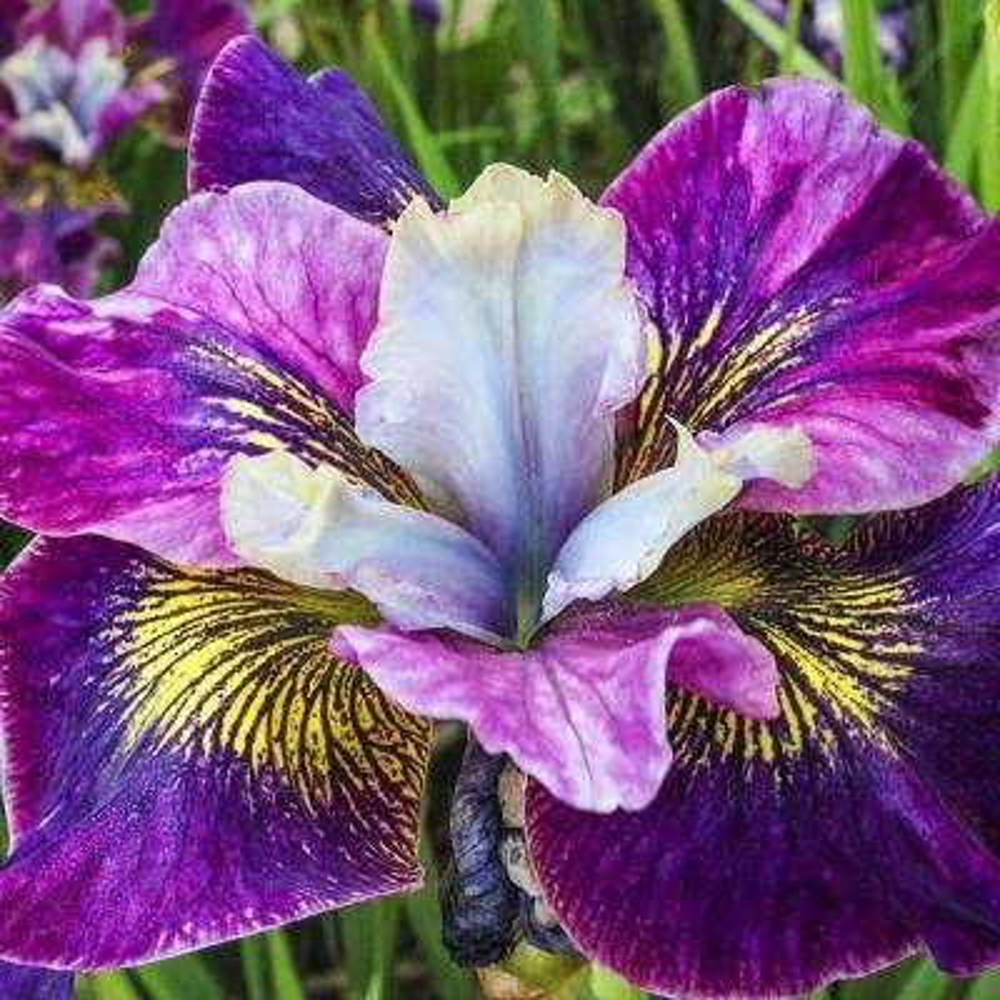 Charming Billy Siberian Iris Bareroot Plant