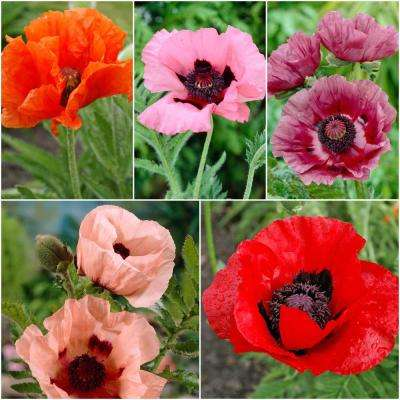 Poppies flower bulbs garden plants flowers the home depot colourful oriental poppy collection 5 pack mightylinksfo