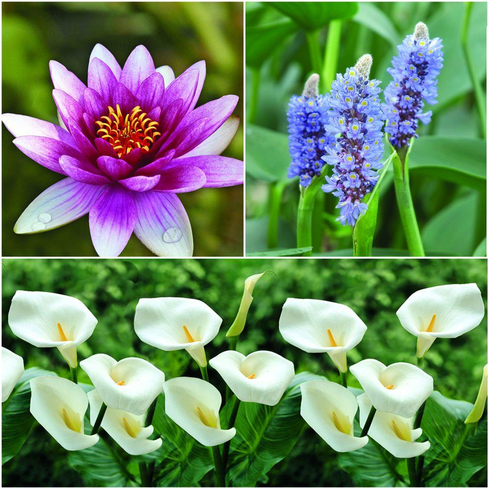 Aquatic Plants For Small Ponds: Bloomsz Pond Water Plant Collection (3-Pack)-07695