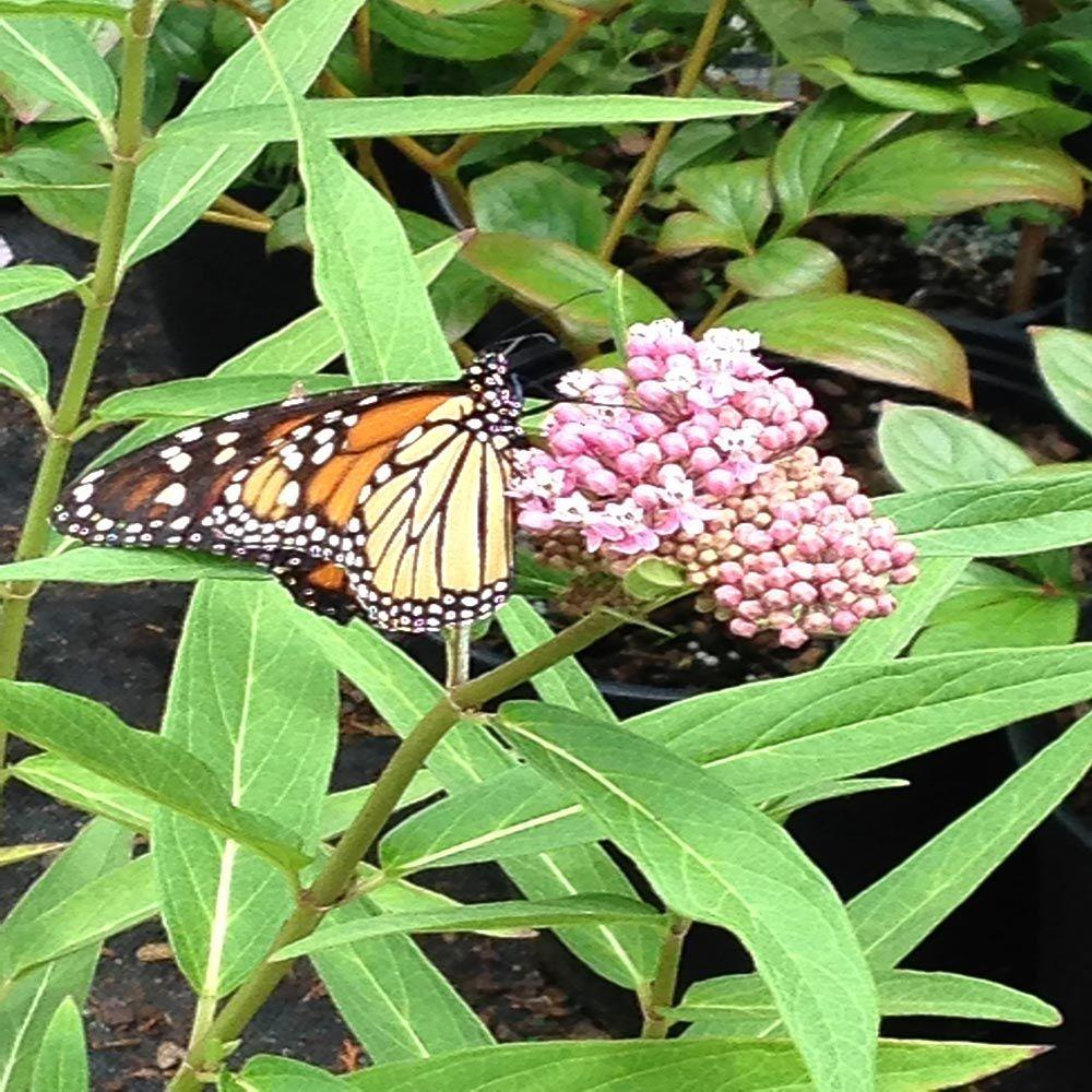 OnlinePlantCenter 1 gal. Soulmate Butterfly Milkweed Plant