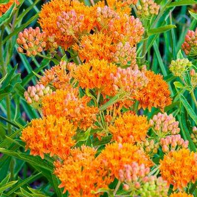Butterfly Attracting Perennial Plant (Asclepias), Live Bareroot Plant, Orange Flowers (1-Pack)