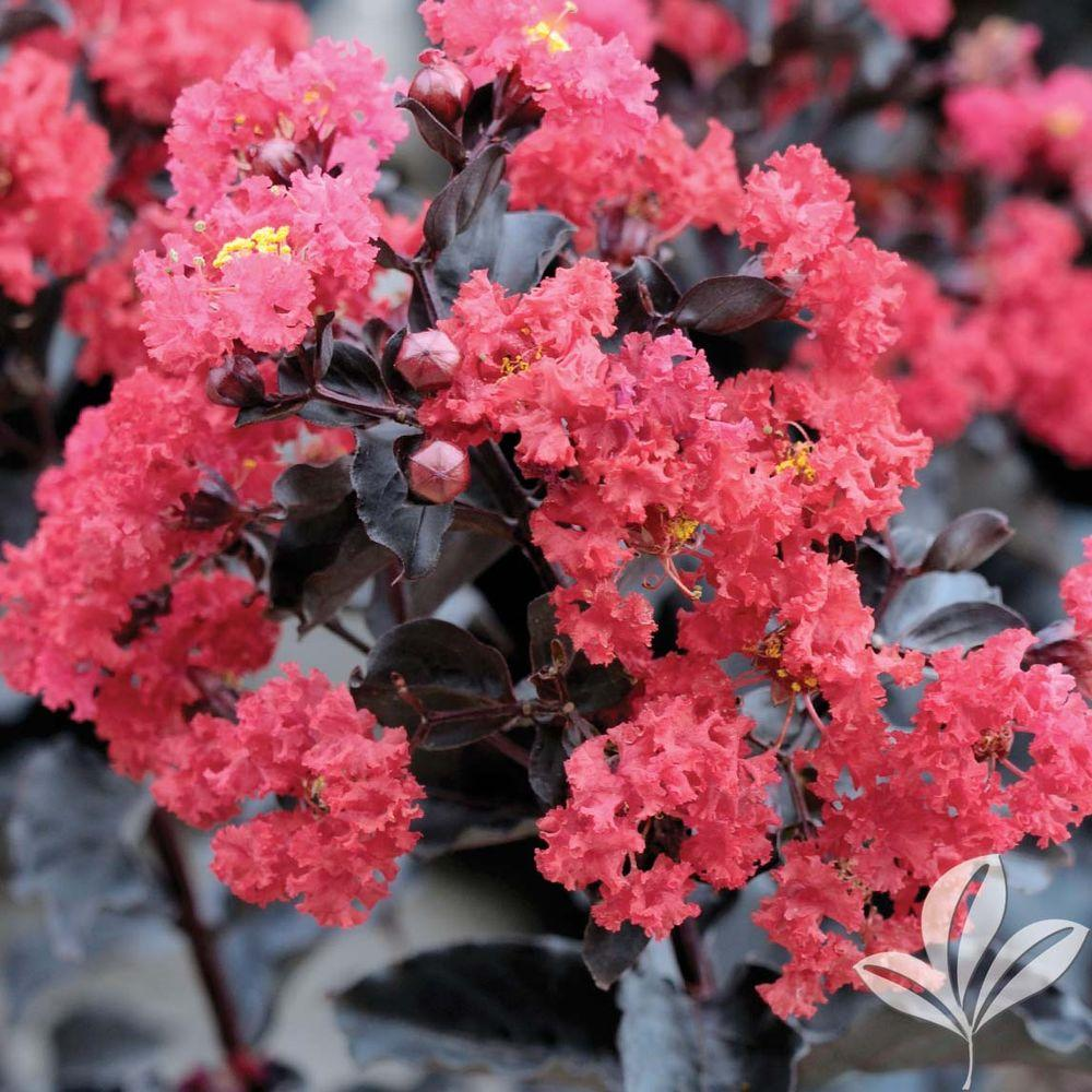 Black Diamond Crimson Red Crape Myrtle Crmbcrbp The Home